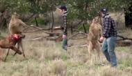 कुत्ते को मारने की कोशिश कर रहा था कंगारू तभी बचाने पहुंच गया युवक और फिर...