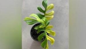 OMG: 4 लाख रुपये है इस नन्हे से पौधे की कीमत, खासियत ऐसी कि दांतों तले दबा लेंगे उंगली