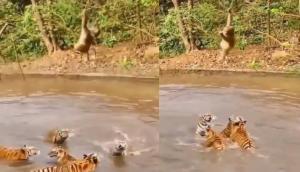 झील में मस्ती कर रहे थे चीते तो बंदर ने ऐसे किया परेशान, वीडियो देखें कैसे दी मौत को दावत