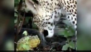 Video: तेंदुए और मेंढक और की लड़ाई देखकर भौचक्के रह जाएंगे आप, जान पर बन आई तो मेंढक ने चली ये चाल