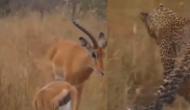 तेंदुआ ने घात लगाकर किया हिरण और उसके बच्चे पर हमला, वीडियो में देखें आगे हुआ क्या