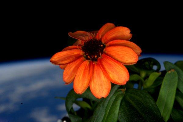 zinnia flower in space twitter.jpg