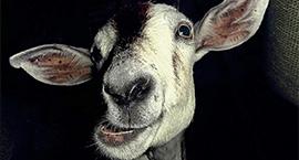 Goats_NON HERO