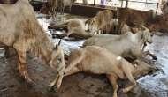 AAP demands CM Vasundhara Raje's resignation over death of cows at Hingonia