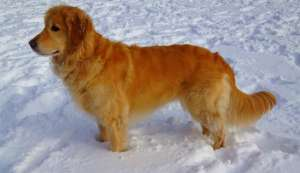 How a golden retriever saved his 64-year-old human's life