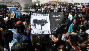 Jallikattu on, but without joy. And Panneerselvam is to blame